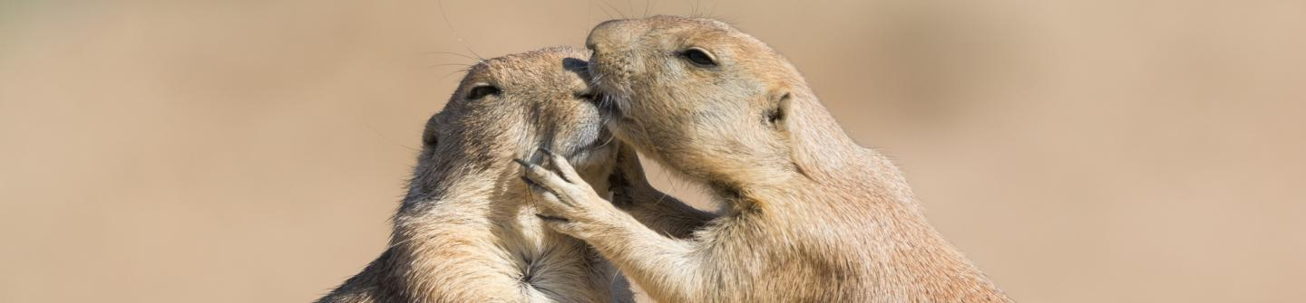 Prairiedogs-serenga